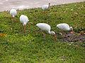 Eudocimus albus -Port Orange, Florida, Florida, USA-8 (1).jpg