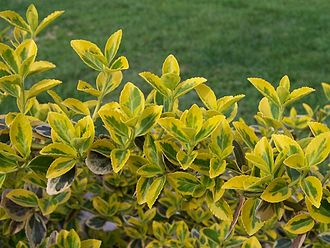Euonymus fortunei - Image: Euonymus fortunei a 1