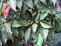 Euonymus japonica 1zz.jpg
