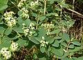 Euphorbia atoto.jpg