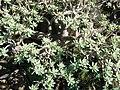 Euphorbia balsamifera (Garafía) 06.jpg