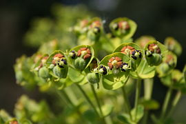 Euphorbia characias MS 4470.jpg