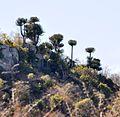 Euphorbia confinalis, c, Lebombo.jpg