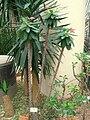 Euphorbia milii 'Keysii' - Hong Kong Park Conservatory - IMG 9821.JPG