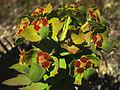 Euphorbia oxyphylla (9221489657).jpg