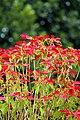 Euphorbia pulcherrima (poinsettia) (32411802746).jpg
