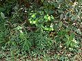 Euphorbia rothiana Spreng. (1654680850).jpg
