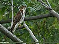 Eurasian Sparrowhawk (Accipiter nisus) (15895893025).jpg