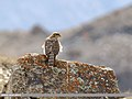 Eurasian Sparrowhawk (Accipiter nisus) (27882249679).jpg
