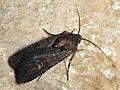Euxoa nigricans - Garden dart - Земляная совка черноватая (41045507812).jpg
