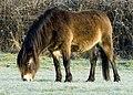 Exmoor Pony 1.jpg