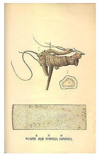 Scopolia japonica - Scopoliae Rhizoma(root of Scopolia japonica)