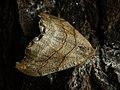 Falcaria lacertinaria - Scalloped hook-tip - Серпокрылка сухолистная (40138676934).jpg