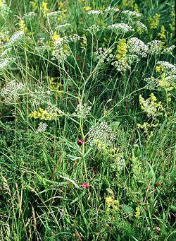 Falcaria vulgaris eF.jpg