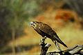 Falco berigora 1.jpg