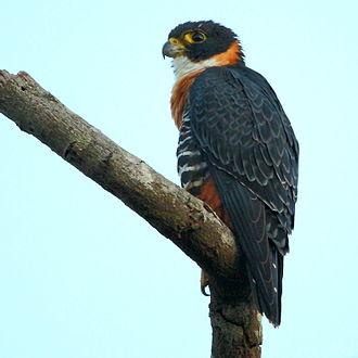 Orange-breasted falcon - at Chapada dos Guimarães, Mato Grosso State, Brazil