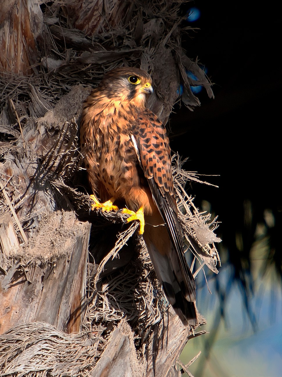 Falco tinnunculus -El Castillo del Romeral, Canary Islands, Spain-8