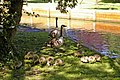 Family of Canada Geese on bank of New River Loop, Enfield - geograph.org.uk - 458050.jpg