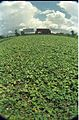 Farmland - 1 JBS Haldane Avenue - Dhapa - Calcutta 1995-Monsoon 830.JPG