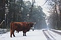 Father Scottish cow looks very impressive^ Please keep distance - panoramio.jpg