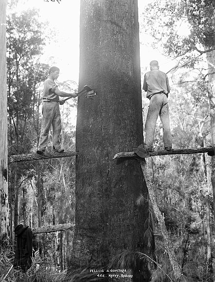 A mountain ash (Eucalyptus regnans) being felled using springboards, c. 1884-1917, Australia Felling a gumtree c1884-1917 Powerhouse Museum.jpg