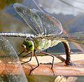 Female. Lesser Emperor. Anax parthenope. - Flickr - gailhampshire.jpg