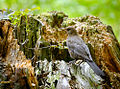 Female blackbird (19550123025).jpg
