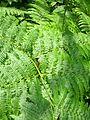 Ferns @ Pelister National Park (14692069758).jpg