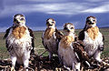 Ferruginous hawk chicks on nest edited.jpg