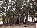 Ficus Centenario - panoramio.jpg