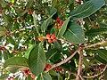 Ficus benghalensis near Thanjavur Railway Junction IMG 20180512 155023166 HDR.jpg