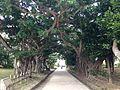 Ficus microcarpa near Tamaudun.JPG