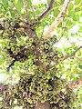 Ficus racemosa, cluster fig tree, Indian fig tree or goolar (gular) fig. അത്തി.jpg