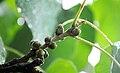 Ficus religiosa 001.jpg
