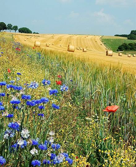 Summer field in Belgium (Hamois). The blue flowers are Centaurea cyanus and the red are Papaver rhoeas. Field Hamois Belgium Luc Viatour.jpg