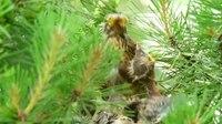 File:Fieldfare (Turdus pilaris) feeding chicks.webm