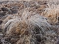 Fine stalks of a grass with hoar frost in Richmond Park - geograph.org.uk - 1102748.jpg