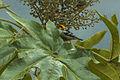 Flame-faced Tanager - Ecuador S4E5978 (23253839685).jpg