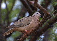 Flickr - Dario Sanches - ROLINHA ROXA (Columbina talpacoti)