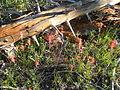 Flickr - brewbooks - Castilleja linariifolia, Saddle Mountain.jpg