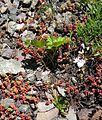 Flickr - brewbooks - Stonecrop and Lewisia - Ascending to Marmot Pass.jpg