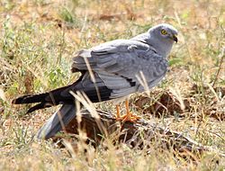 Flickr - don macauley - Bird 015.jpg