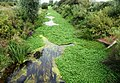 Floating pennywort in Foudry Brook - geograph.org.uk - 1747045.jpg
