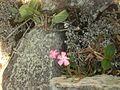 Flor do manuê na Serra da Onça em Mata Grande, Alagoas.jpg