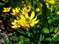 Flor silvestre en Calafate.JPG