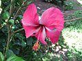 Flora-Hibiscus-2.jpg
