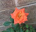 Flores - casa Drago (3-6) (2098675951).jpg