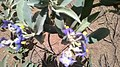 Flores de uma Planta conhecida como Caiçara encontrada na Mata Cipó-Ba.jpg