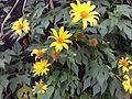 Flores en los pasajes rurales de Buga.JPG