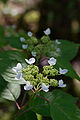 "Flower, Hydrangea ""Kurenai-YamaAjisai"" - Flickr - nekonomania.jpg"
